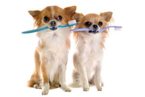 chihuahuas et brosse à dents
