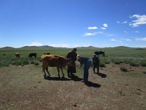 behandeling-van-koe-laten-zien-aan-herders-in-mongolie